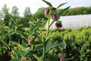 Species Biodiversity Mixed Herbs and Vegetable Production