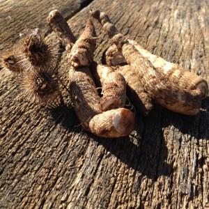 burdock burr and root