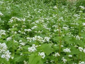 buckwheat-web