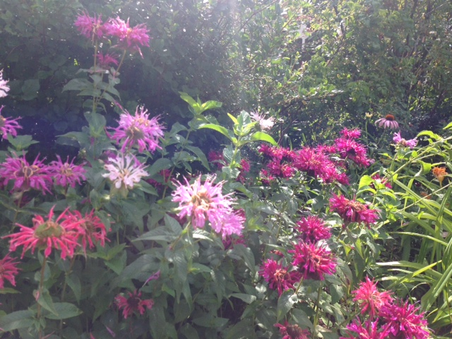 A delightful mix of beebalm shades.