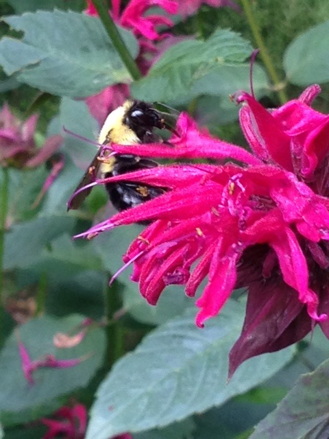 pink beebalm with bee