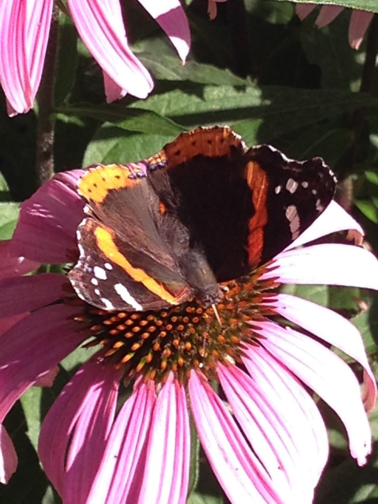 red admiral on echinacea