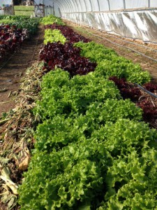 lettuce in the hoophouse at Twin Oaks