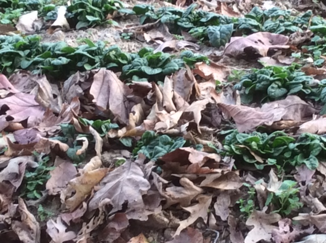 Spinach with Leaf Mulch
