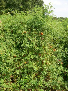 matts wild cherry tomato SESE