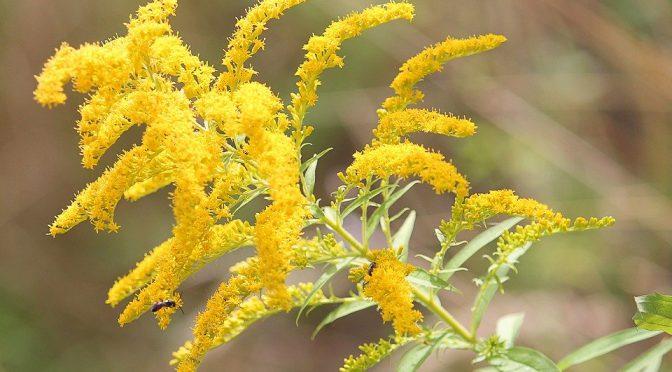 Herbal Tinctures: Goldenrod