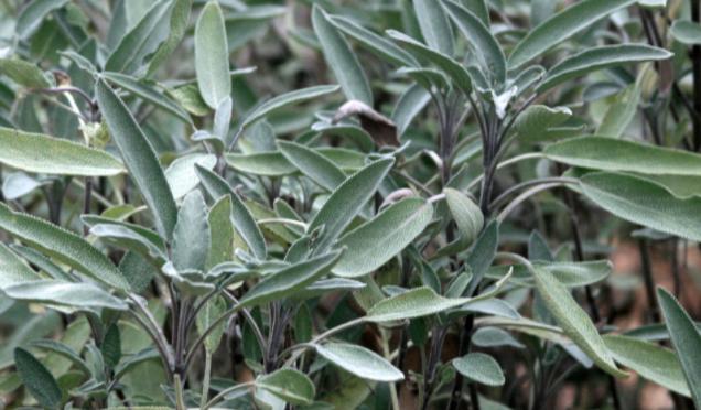 Grow a Perennial Herb Garden