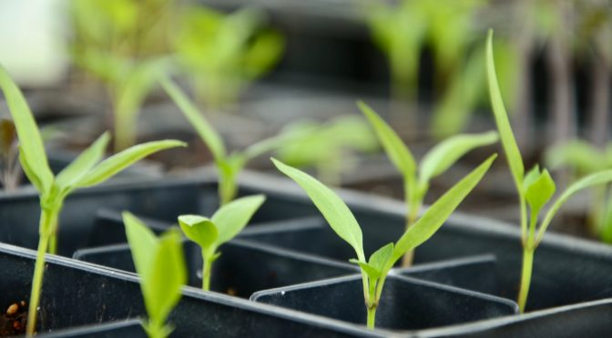 Transplanting: 9 Tips for Success