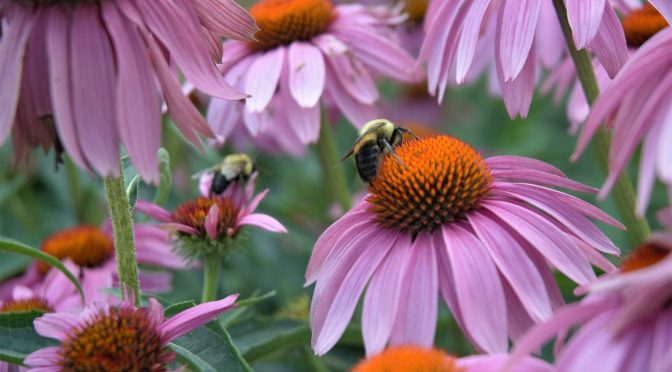 7 Reasons to Grow Echinacea