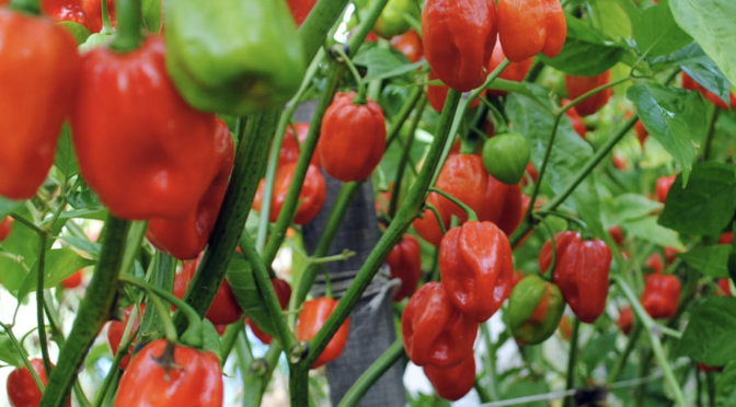 A Brief History of Peppers