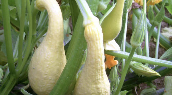 Summer Squash: Ways to Use & Preserve It