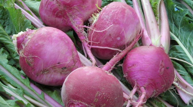 Growing, Storing, and Using Fall Turnips
