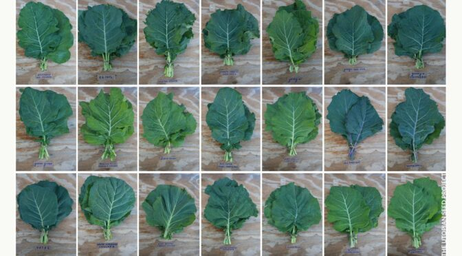 7 Reasons to Join The Collard Community Seed Selection Project