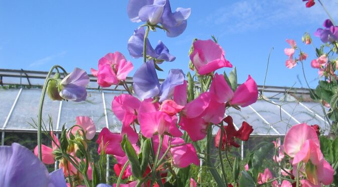 Spring Flowers: Fall Sowing
